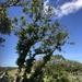 Windshaped Oak