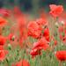Poppy Red by phil_sandford