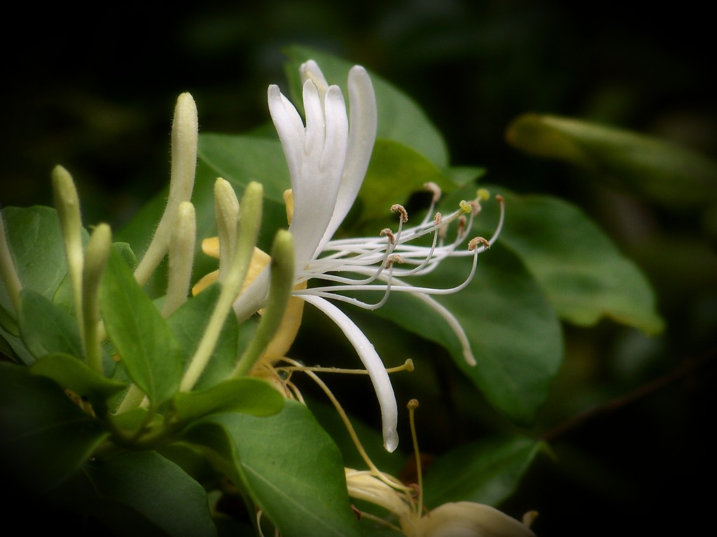Lonicera japonica... by marlboromaam