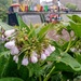 Comfrey on the towpath