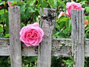 20th Jun 2021 - Pink Rose