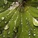 Lady's Mantle (Alchemilla mollis)
