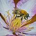 Bee(?) Visiting Clematis Flower by gardencat