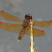 Eastern Amberwing dragonfly by annepann