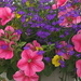 Wave Petunia basket with a Painterly look