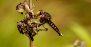 20th Jun 2021 - Can You Find the Robber Fly!