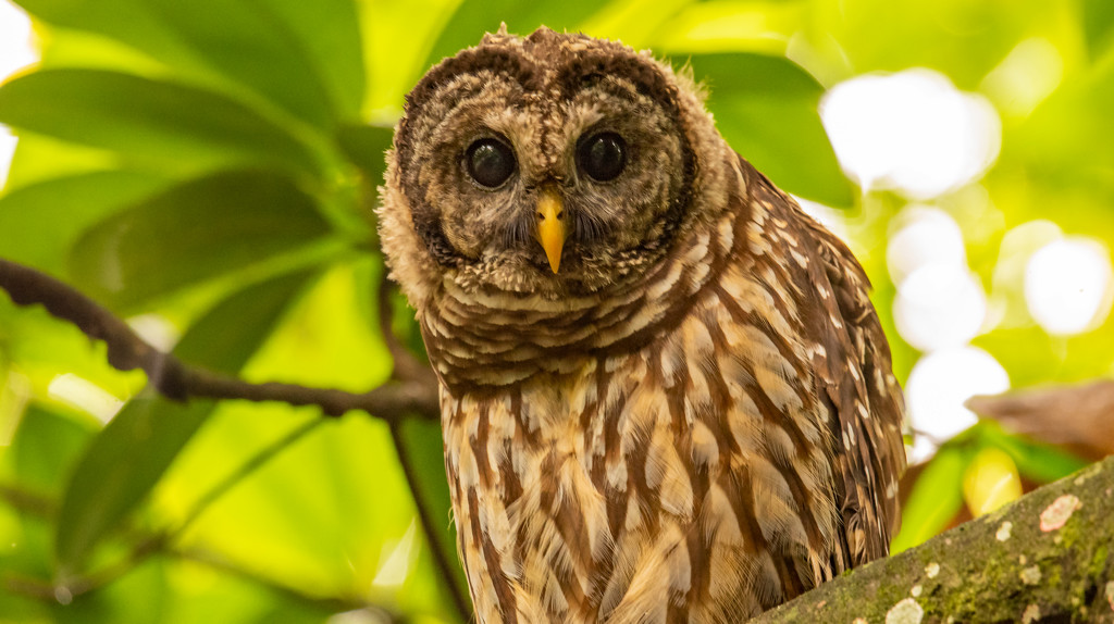 Barred Owl, Keeping a Close Eye on Things! by rickster549