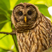 Barred Owl, Keeping a Close Eye on Things!