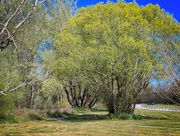 13th Jun 2021 - Spring green tree
