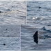 Whale sharks - from the boat!