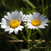 On the Daisies