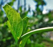 14th Jun 2021 - Pea leaf