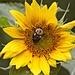 LHG-3588- first sunflower to open its head