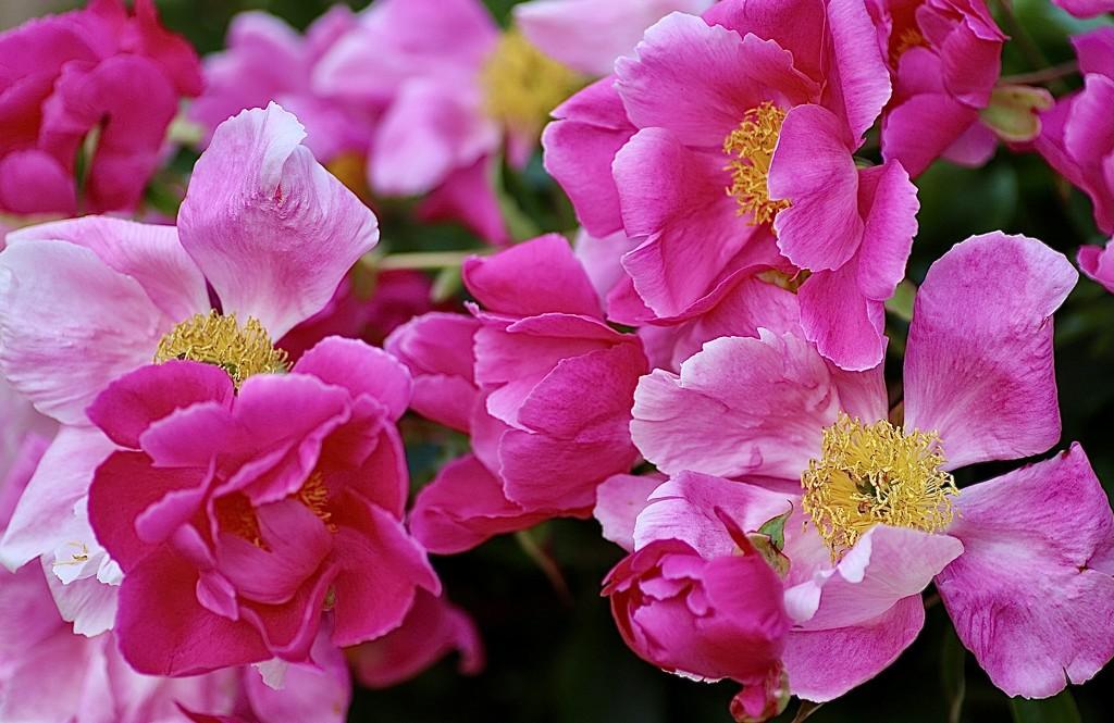Peony Pink by carole_sandford