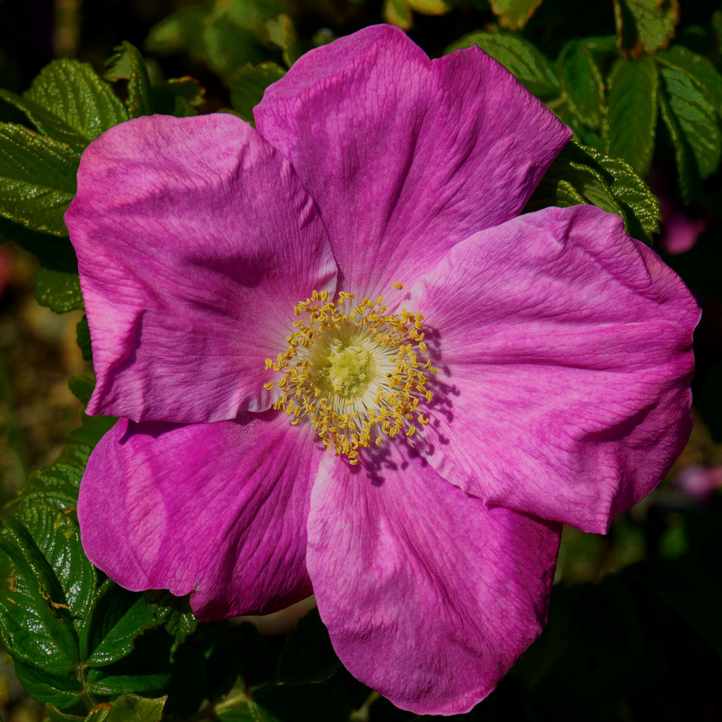 0618 - Sea Rose (Rosa rugosa) by bob65