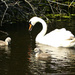 Swan Family by snoopybooboo
