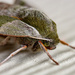 Sphinx Moth by cwbill