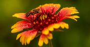21st Jun 2021 - Bee on the Flower!