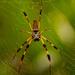 Golden Silk Orb-Weaver Spider!