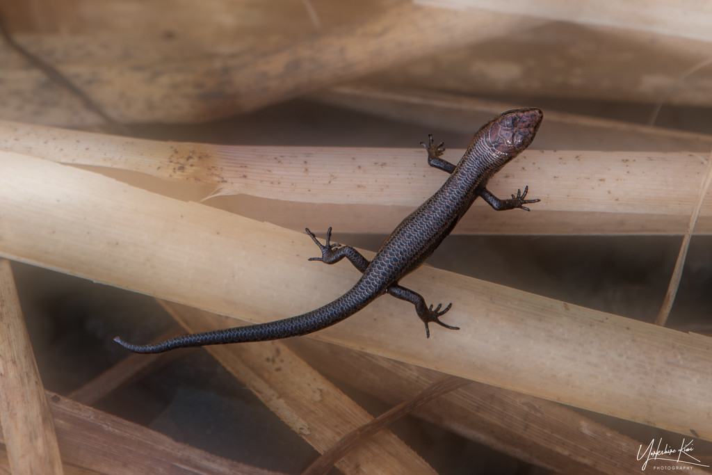 Another Tiny Skink by yorkshirekiwi