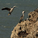 Spotted shag nesting rock