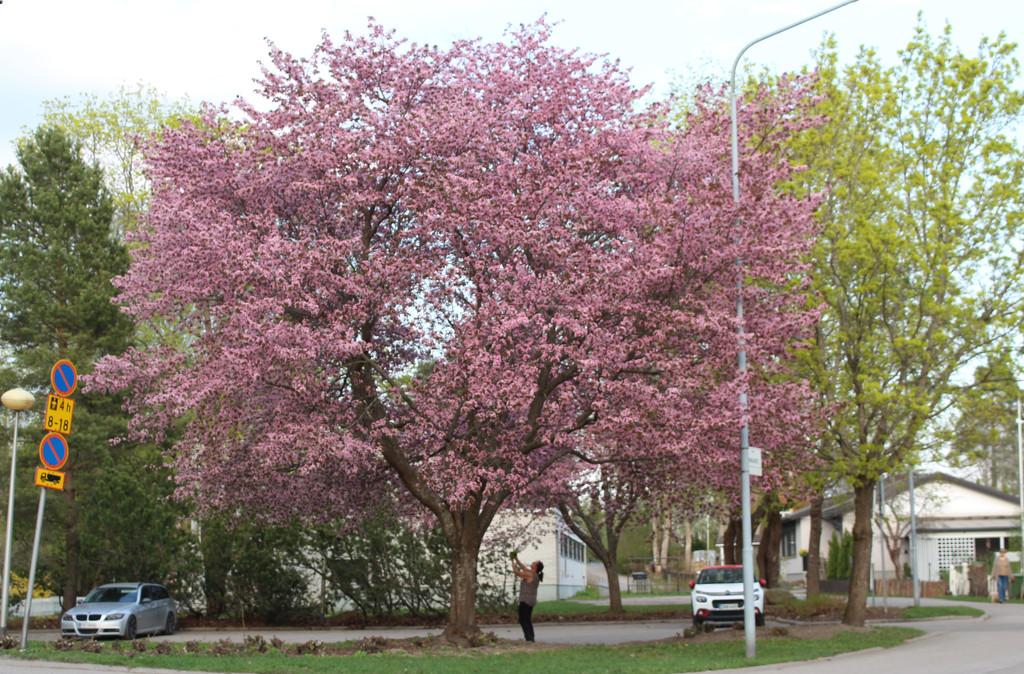 Prunus sargentii by annelis