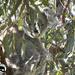 peeking through the leaves by koalagardens