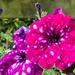 Spotty Petunia