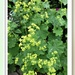 Lady's Mantle by beryl