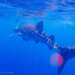 Whale Shark - from in the water