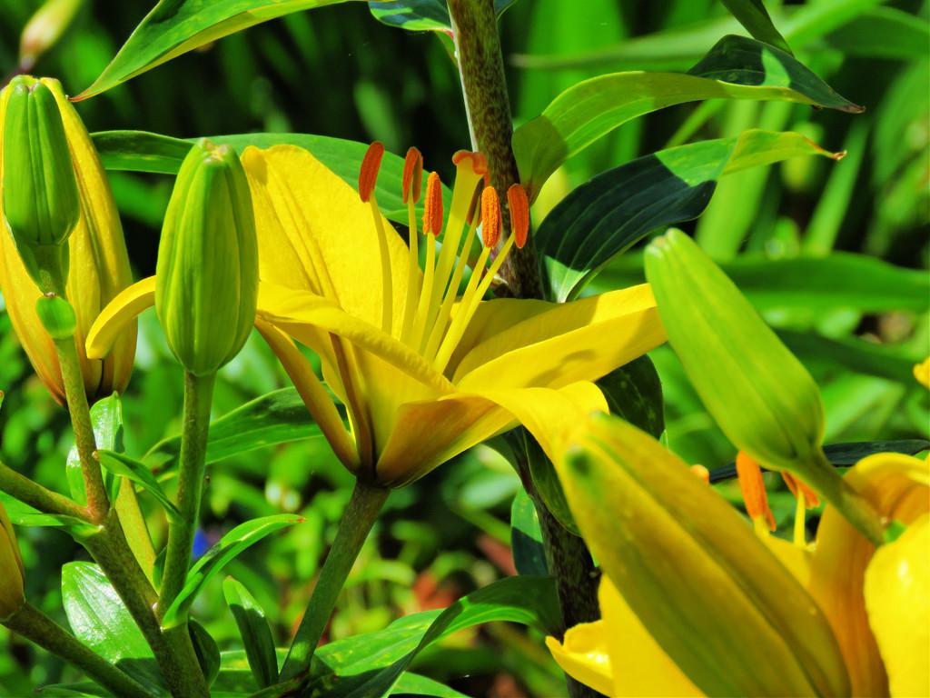 Lilies by seattlite