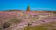 22nd Jun 2021 - A Sea of Sea Pinks