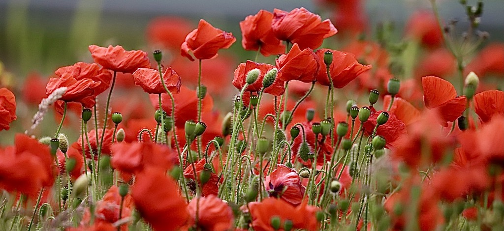Sea of Red by carole_sandford