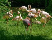 21st Jun 2021 - 0621 - Flamingos