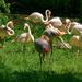 0621 - Flamingos