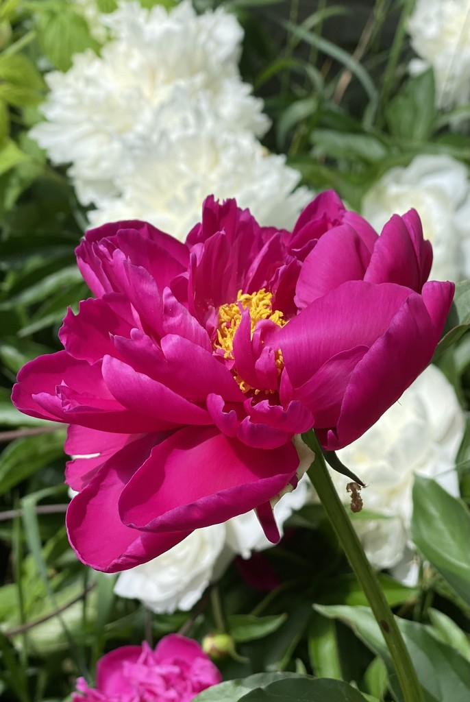 My Peonies are Open! by radiogirl