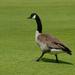Canada Goose Strutting! by sprphotos