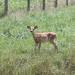 Young #5: Deer