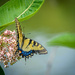 Swallowtail and Flower