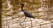 22nd Jun 2021 - Little Blue Heron on a Stroll!