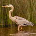 Blue Heron Looking for it's Snack! by rickster549