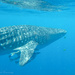 Another Whale Shark - from in the water by ingrid01