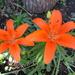 A nice spot of colour in the garden