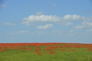 23rd Jun 2021 - Poppies to the horizon and beyond.