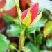 Rose Bud by plainjaneandnononsense