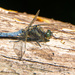 Dragonfly by mave