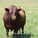 One Big Bull!