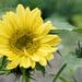 First Sunflower of the Summer
