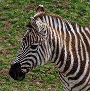 23rd Jun 2021 - 0623 - Zebra