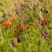butterfly milkwweed